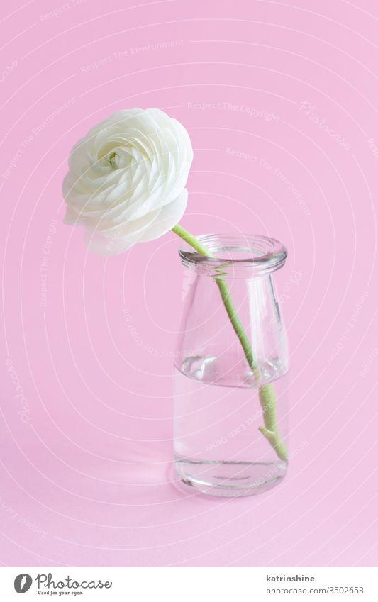 Frühlingskomposition mit einer weißen Blume in einem Glasgefäß auf hellrosa Hintergrund Ranunculus Roséwein Wasser romantisch Pastell weiche Farbe abschließen