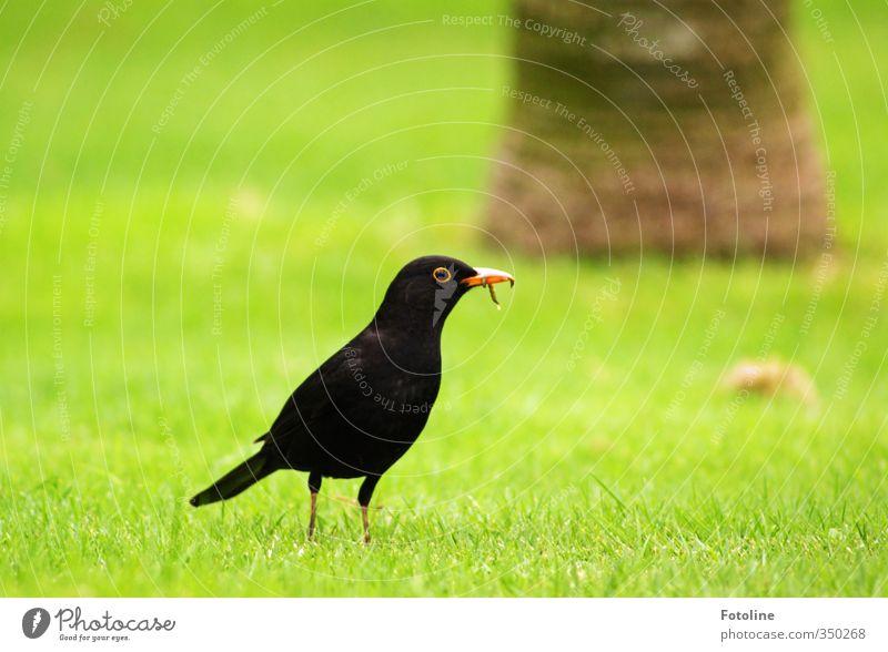 Miracoli ist fertig! Umwelt Natur Pflanze Tier Gras Garten Park Wiese Vogel Wurm natürlich grün schwarz Amsel Schnabel Fressen Baumstamm Farbfoto mehrfarbig