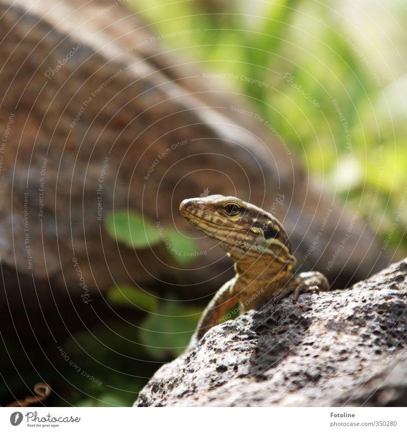 Wat jibts denn da? Umwelt Natur Tier Urelemente Erde Wildtier Tiergesicht 1 klein nah natürlich Echsen Echte Eidechsen Reptil Farbfoto mehrfarbig Außenaufnahme