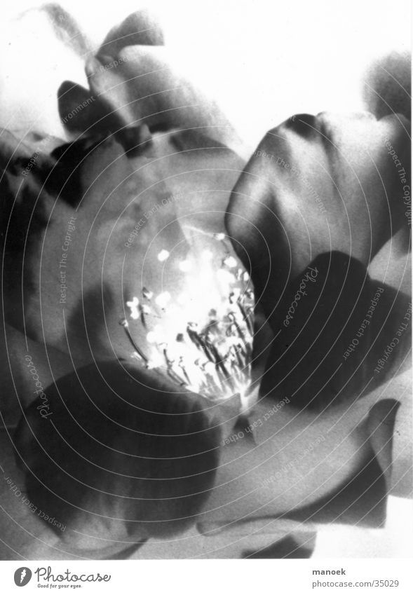 fleudumale2 Blume schwarz negativ fremd Beleuchtung