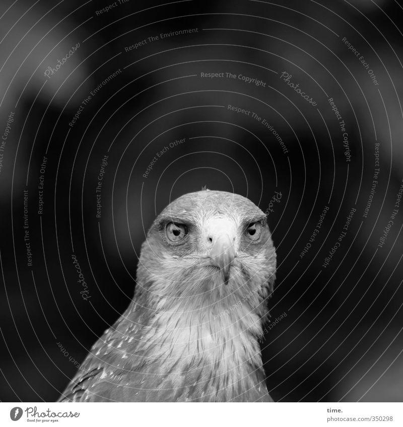 sitzengelassen ... Tier Wildtier Vogel Tiergesicht Greifvogel 1 beobachten hocken Blick außergewöhnlich natürlich Willensstärke Mut Wachsamkeit authentisch