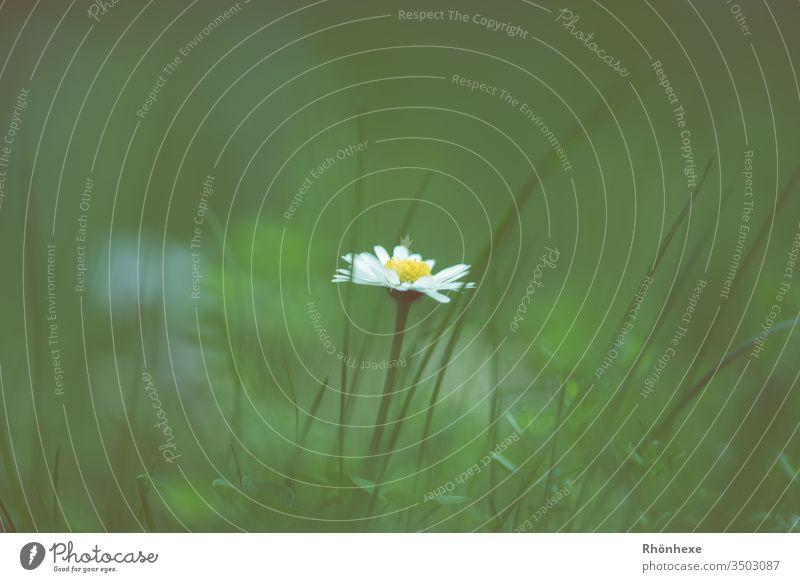 ein einsames Gänseblümchen Blume Gras grasgrün einzeln Textfreiraum oben Frühling flower Pflanze Wiese Wiesenblume Außenaufnahme Makroaufnahme schön Natur Tag