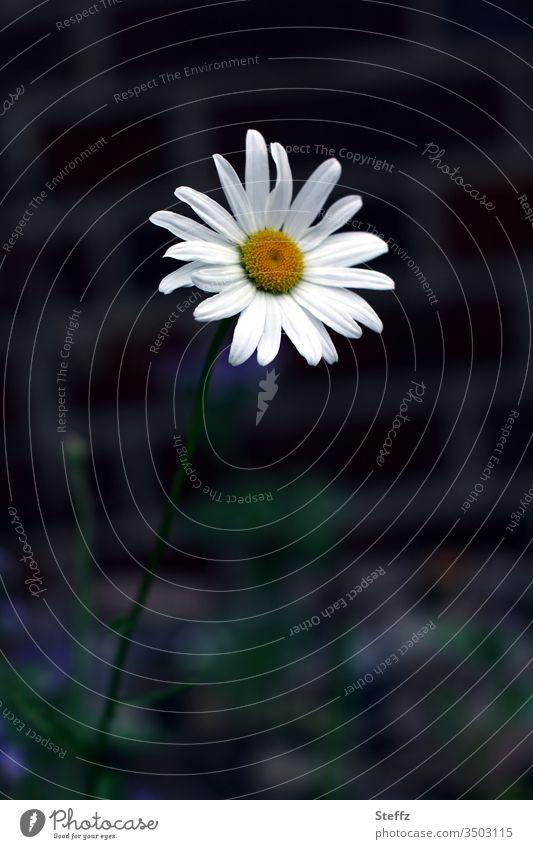 Mauerblümchen Blume Margerite Kontrast blühen Blüte blühend blühende Blume Sommerblume sommerlich weiß-gelb Wildblume Gartenblume Farbfoto