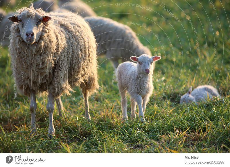 Schaf und Lämmchen Lamm Schafherde Nutztier Tier Tiergruppe Wiese Landschaft Bauernhof Schafswolle Fell Tierporträt Weide Landwirtschaft Gras Wolle Ranch