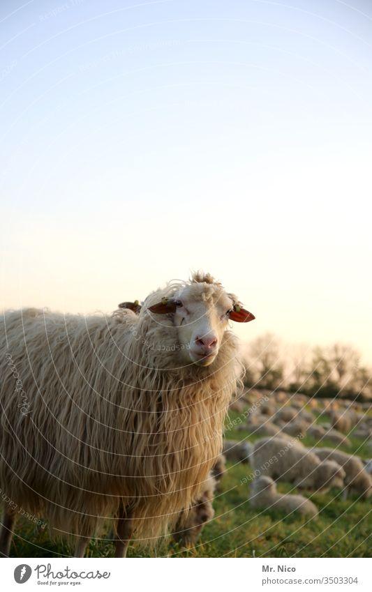 Schafherde Nutztier Tier Tiergruppe Wiese Landschaft Tierporträt Fell Schafswolle Bauernhof Weide Landwirtschaft Gras Wolle Ranch schafskopf Himmel määh