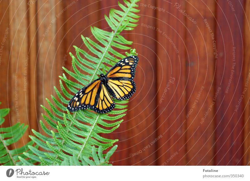 Kontraste Natur grün weiß Pflanze Tier schwarz natürlich braun orange Wildtier Flügel Schmetterling Farn