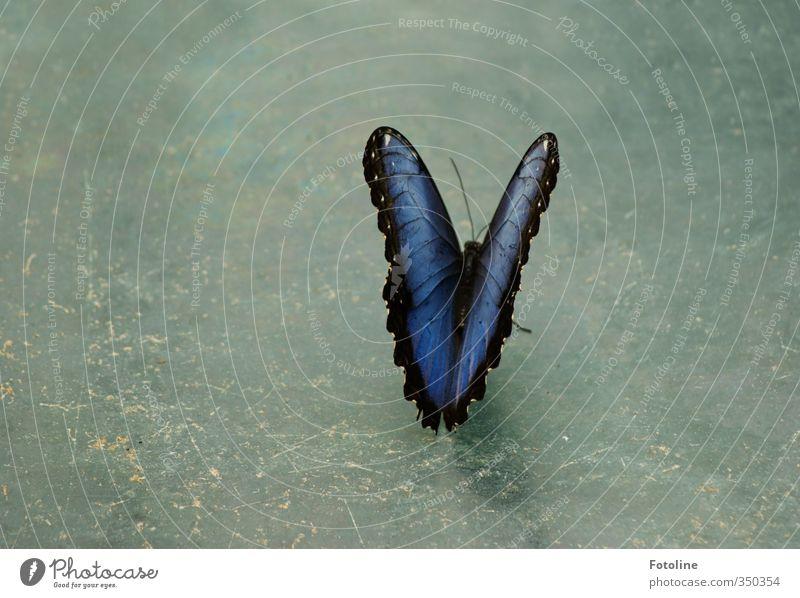 Verschnaufpause blau schön Tier Umwelt natürlich Flügel Schmetterling