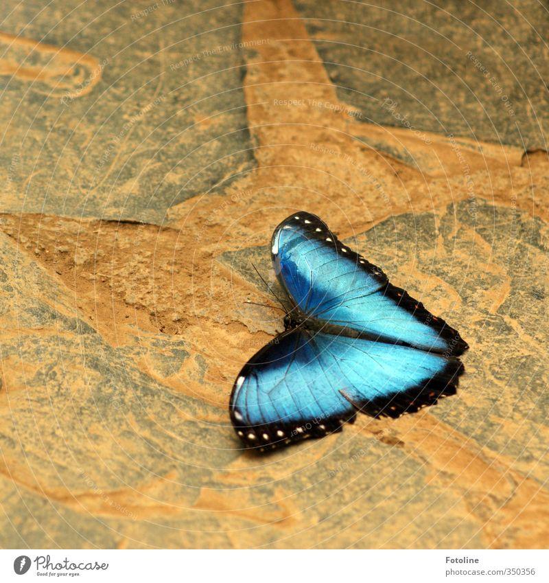 total blau | total blaue Flügel Umwelt Natur Tier Schmetterling 1 ästhetisch natürlich schön Farbfoto mehrfarbig Nahaufnahme Menschenleer Tag Licht