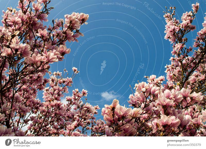 Magnolia - Magnolie - Pinker Frühling Natur Pflanze Baum Blüte Garten Park fantastisch blau rosa Idylle ruhig schön Magnolienbaum Magnoliengewächse