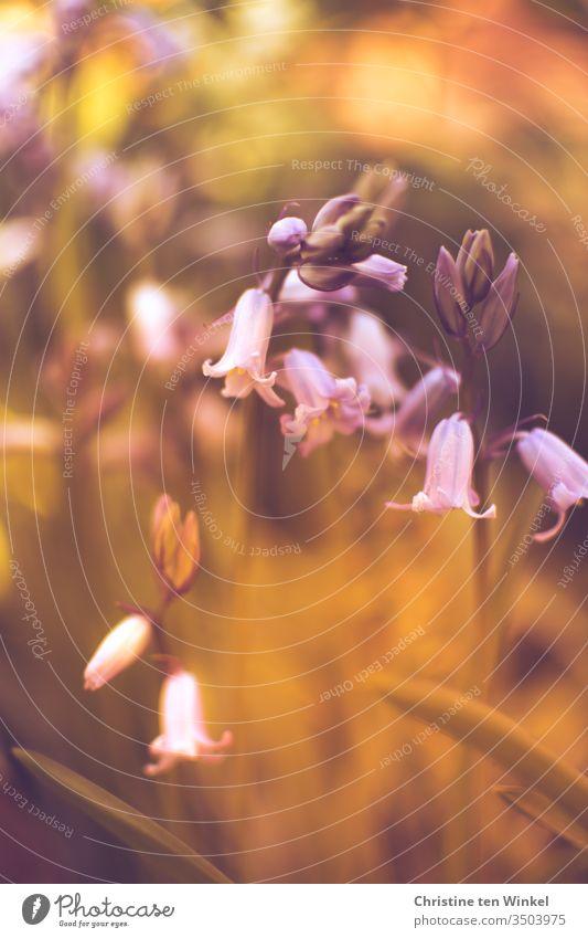 Hasenglöckchen / Hyacinthoides hispanica mit schwacher Tiefenschärfe und Bokeh Scilla hispanica hyazinthengewächs Schwache Tiefenschärfe Warme Farbe