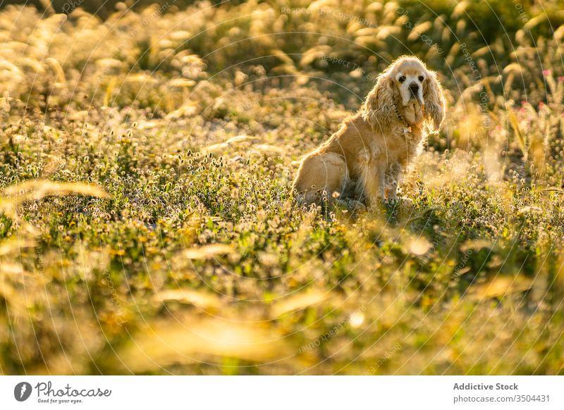 Süßer Welpe sitzt an einem Sommertag auf dem Feld Hund warten sitzen Wiese Cocker Spaniel golden Haustier Landschaft Tier Eckzahn heimisch Reinrassig Stammbaum