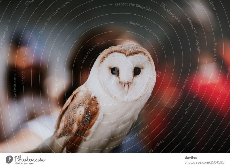 Eulenporträt mit Personenhintergrund während einer Ausstellung. Waldohreule Scheune Tier wild Vogel alba weiß Tyto Porträt Tierwelt Raubtier Ansicht Blick