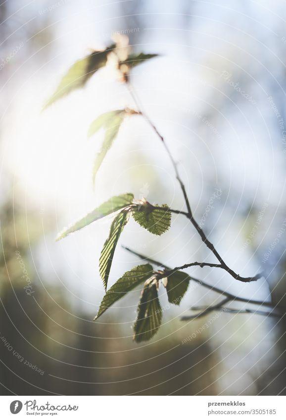 Unscharfes Blattgrün im Hintergrund. Frühlingsfrisches Laub. Frühlingsthema abstrakt Schönheit Blüte Unschärfe verschwommen Ast hell Nahaufnahme Farbe Ökologie