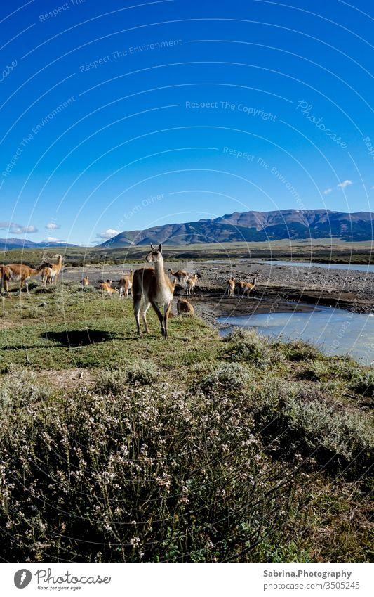 Wildlebende Guanaka Herde im Torres del Paine Nationalpark, Chile, an einem sonnigen Tag Guanako Alpaka Lama Südamerika Torres del Paine NP Tier Außenaufnahme