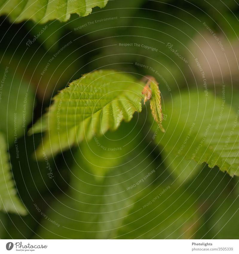 Blatt einer Buche Nahaufnahme Makroaufnahme Natur Baum Pflanze Unschärfe Menschenleer Detailaufnahme Farbfoto grün Tag natürlich Buchenblatt Wachstum