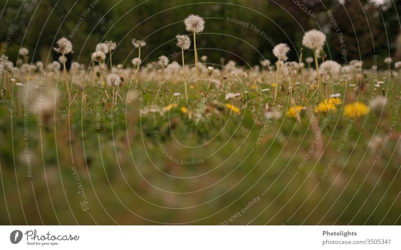 Löwenzahn - Wiese mit Pusteblumen Garten Unkraut Gras Frühling Blüte Natur Blume Sommer Rasen Blühend gelb weiß Farbfoto Außenaufnahme Makroaufnahme Nahaufnahme