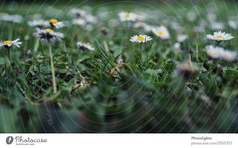 Gänseblümchen - Wiese Garten Unkraut Gras Frühling Blüte Natur Blume Sommer Rasen Blühend gelb weiß Farbfoto Außenaufnahme Makroaufnahme Nahaufnahme Unschärfe