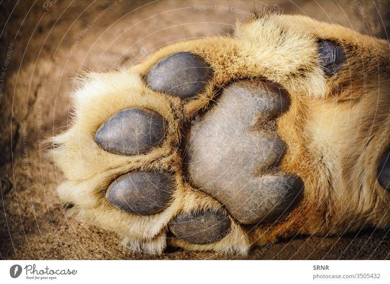 Pfote eines Löwen Tier Raubkatze Krallen Taufkralle digitale Unterlage Vorfuß Vorderbein Vordergliedmaße Vorderpfote Fell haarlose Epidermis