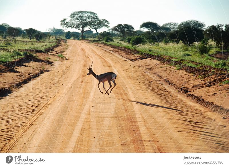 Tier quert die Piste im hohen Tempo Antilope Natur Kenia Afrika Safari Ferien & Urlaub & Reisen Savanne Landschaft Nationalpark Wildtier Reifenspuren