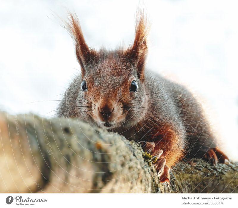 Eichhörnchen liegend auf einem Ast Sciurus vulgaris Tiergesicht Kopf Auge Nase Ohr Pfote Krallen Fell Zweige u. Äste Wildtier Schönes Wetter Sonnenlicht