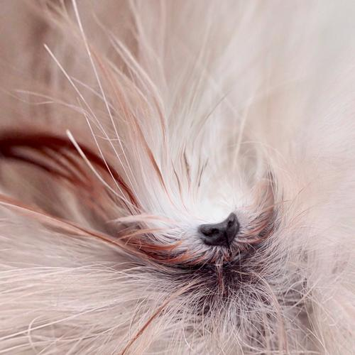 spürnase Hund Malteser Hund Hundenase Fell weiß Haustier Detail Schnauze Nahaufnahme Nase Tiergesicht Schwache Tiefenschärfe Tiny Planet Effekt Detailaufnahme