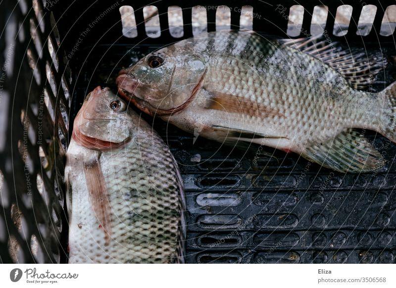 Zwei gefangene tote Fische in einer Kiste angeln geangelt Angeln Freizeit & Hobby zwei Außenaufnahme Fischereiwirtschaft Ernährung Tag Lebensmittel Flossen