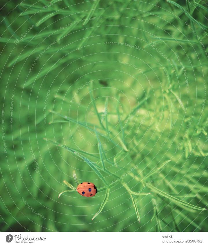 Tarnung wird überschätzt Marienkäfer Pflanze Strauch sitzen ruhen friedlich einsam zufrieden rot leuchtend Punkt auffallen krabbeln Kintrast grün