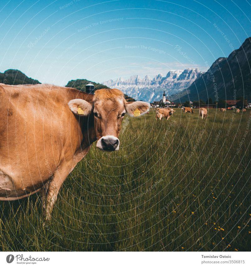 Kuh in den Bergen der Alpen in der Schweiz alpenländisch Schweizer Gras im Freien sonnig Ackerbau wunderschön Landschaft Molkerei Milcherzeugnisse Milchkuh