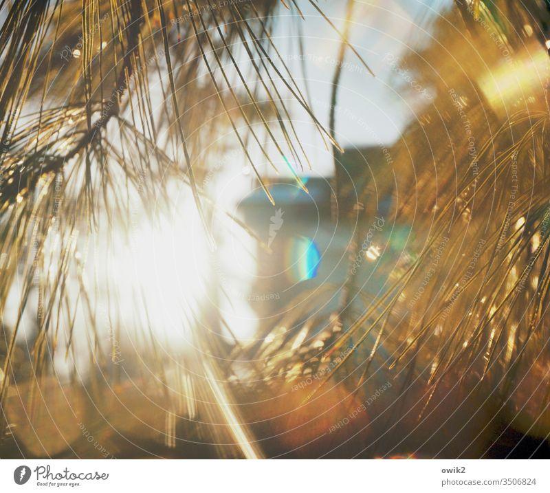 Glämmer Licht Sonnenlicht Gegenlicht funkeln leuchten glänzen Pflanzen Nadelbaum Kiefer nass Wassertropfen Blendenfleck Lichterscheinung Schwache Tiefenschärfe