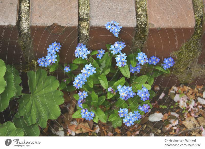 Vergissmeinnicht-Pflanze  / Myosotis und Blätter des Frauenmantels / Alchemilla vor einer niedrigen älteren Mauer Frauenmantelblatt Steinmauer grün blau