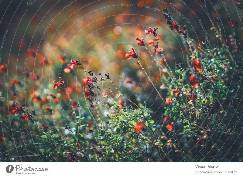 Rote winzige Blüten des Wimpernsalbei, auch bekannt als Salvia blepharophylla Salbei Blumen Blütezeit botanisch Botanik Feld Flora geblümt Blütenblätter blumig
