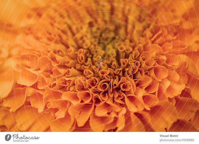 Orangene Blütenblätter der Tagetes erecta, allgemein bekannt als Afrikanische Ringelblume Blume Blütezeit botanisch Botanik Flora geblümt blumig Garten