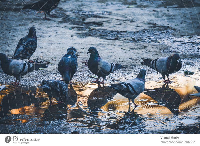Tauben trinken am Nachmittag Wasser aus einer Pfütze in einem städtischen Park Vögel im Freien Tiere Außenseite Natur natürlich Garten urban Fauna Tierwelt
