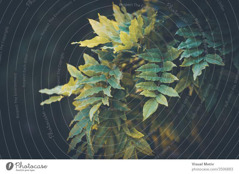 Unpaarig gefiederte oder ungerade gefiederte zusammengesetzte grüne Blätter unparteiisch Natur natürlich Pflanze Blatt Park Garten im Freien Außenseite