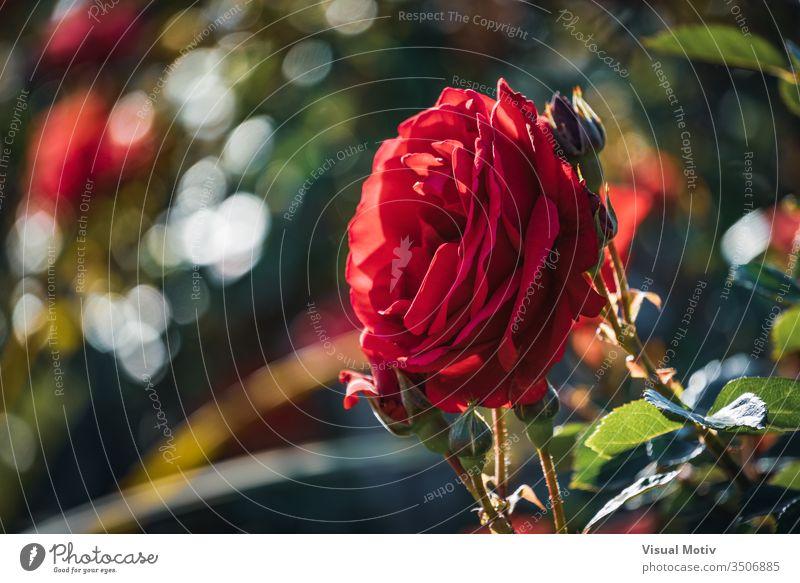 Rote Rose umgeben von Knospen in verschiedenen Blühstadien Roséwein Farbe botanisch Botanik Flora geblümt blumig Blume im Freien Außenseite Park Garten