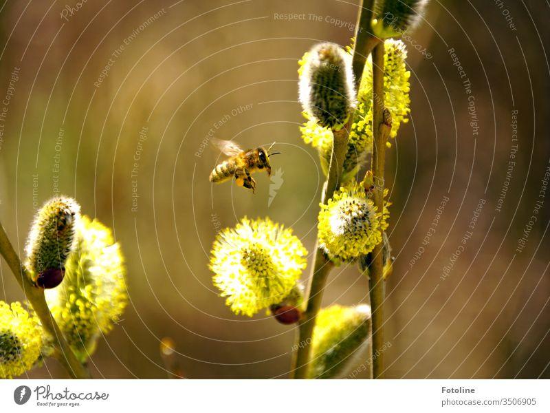 Anflug - oder eine kleine fleißige Honigbine, die blühende Weidenkätzchen anfliegt um Pollen zu sammeln Biene Honigbiene Insekt Tier Natur Außenaufnahme