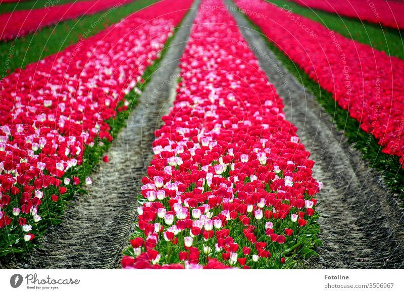 Das kann nicht nur Holland - oder ein Tulpenfeld mit tausenden wunderschön blühender Tulpen in den Farbem pink und weiß Frühling Blume Blüte Pflanze Natur grün