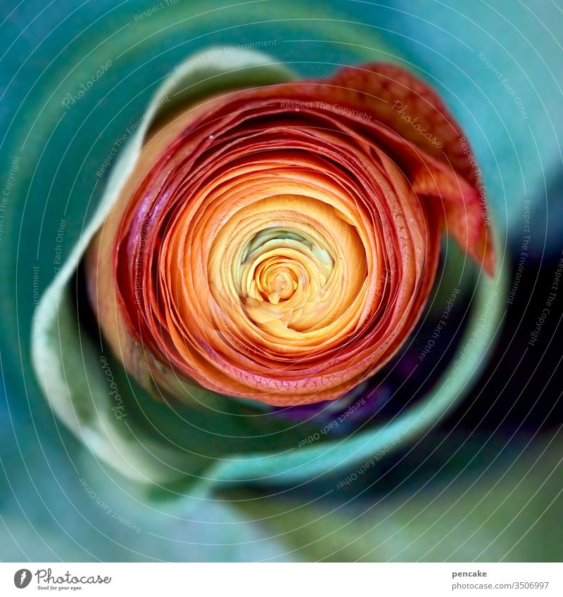 haute couture | accessoire Blüte Pflanze Nahaufnahme Blume Natur Detailaufnahme Sommer Blütenblatt Farbfoto Blühend modisch Accessoire Ranunkel gedreht