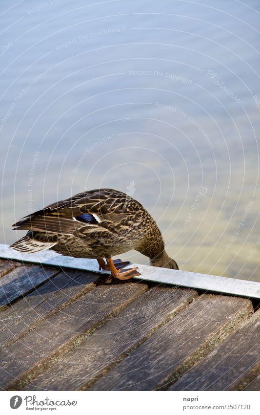 Check | Ente am Rand eines Badestegs. Bürzel See Steg Wasser Stockente Natur Tier 1 prüfen check nass vornüber vorsichtig braun Textfreiraum oben Am Rand