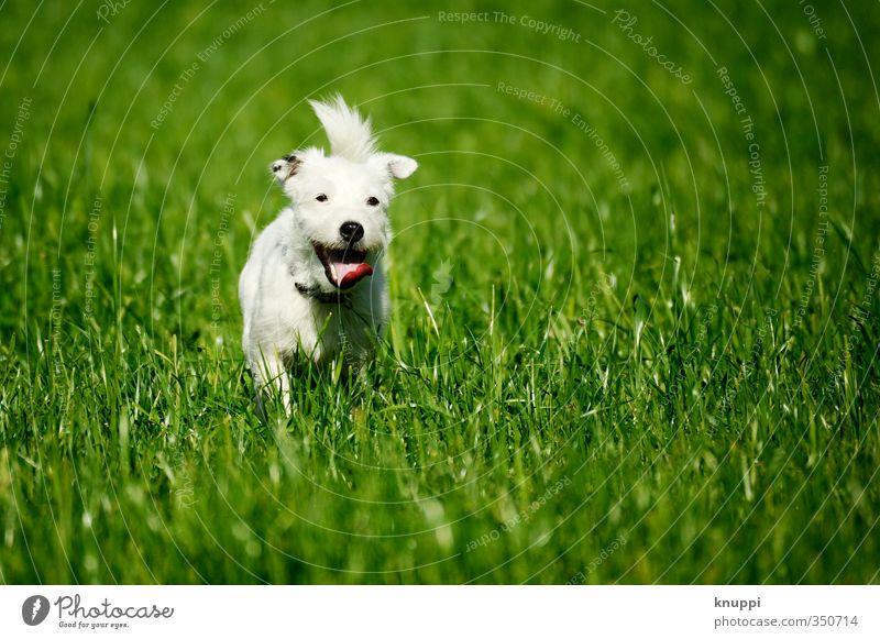 Frostie VI Umwelt Wiese Feld Tier Haustier Hund Tiergesicht Fell 1 Tierjunges Bewegung rennen frei Fröhlichkeit Wärme wild grün schwarz weiß Lebensfreude