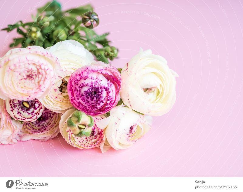 Weißer Strauß Ranunkeln auf einem rosa Hintergrund Fahne Bund Frühling pflanze Blüte Muttertag Geschenk geburtstag Pastellfarben Natur Nahaufnahme liebe