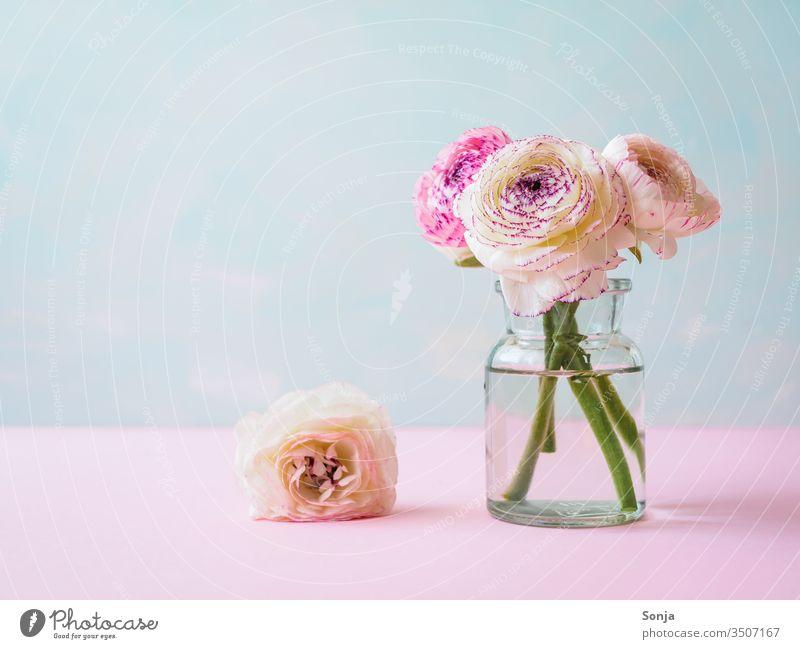 Weiße und pinke Ranunkeln in einer Glasvase auf einem rosa Tisch Fahne Blumenvase Frühling Pastellfarbig Blüte Bund Farbfoto Nahaufnahme Stängel Stilleben Natur