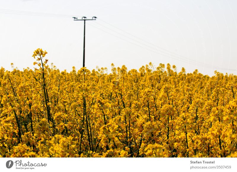 Rapsblüte und erste Rapsfrüchte am Stiel in einem schönen gelben Rapsfeld Horizont Brennstoff sonnig natürlich Biografie Natur Erdöl Diesel Wirtschaft Ackerbau