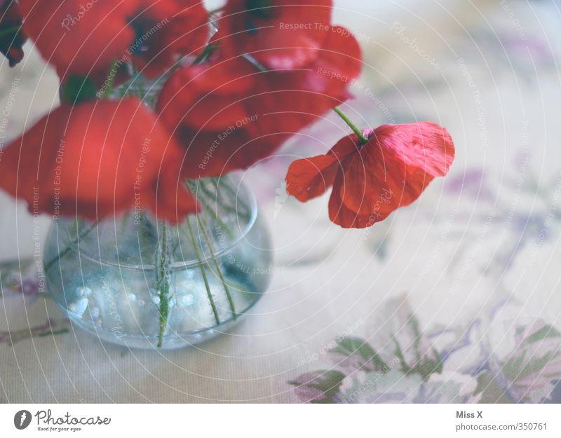 Trauermohn Dekoration & Verzierung Tisch Sommer Blume Blüte Blühend Duft hängen verblüht dehydrieren rot Traurigkeit Liebeskummer Verfall Vergänglichkeit Mohn