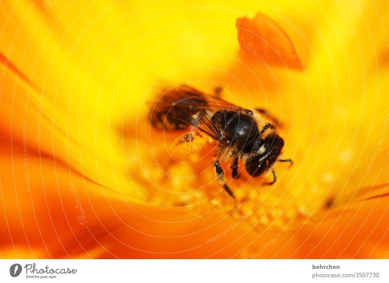 sommerleuchten sommerlich Blühend Duft Sonnenlicht Farbfoto Nahaufnahme Wildtier Pollen Unschärfe Nektar Tier Außenaufnahme Tierporträt Flügel Fressen fliegen