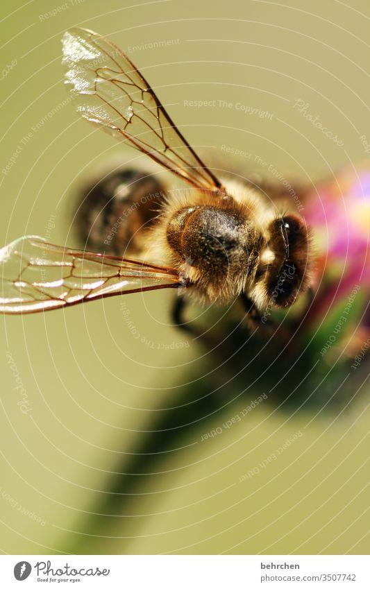 systemrelevant | unsere bienchen Nektar Honig Pollen Tier Nahaufnahme Wiese Garten Hummel Biene fliegen Flügel Umwelt Wärme Blütenstaub Sonnenlicht Blume blühen