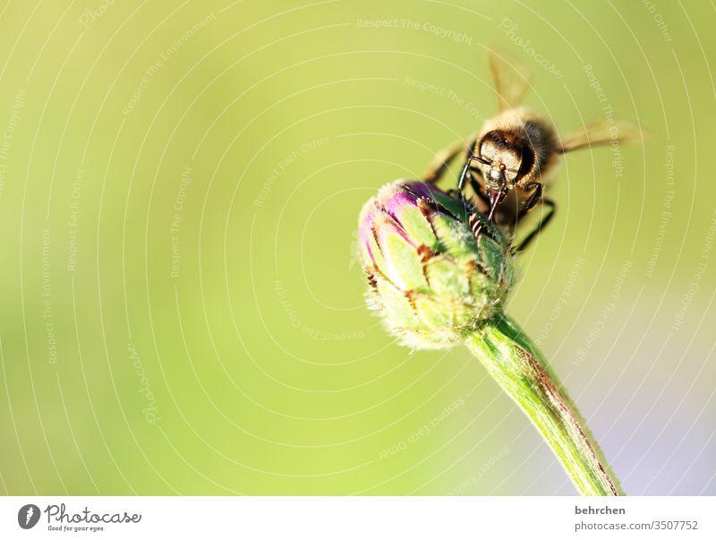 tag der arbeit | fleißiges bienchen lebenswichtig Tierschutz Kontrast Tierporträt Wildtier Farbfoto Frühling Sommer Außenaufnahme Pflanze Natur blühen Blume