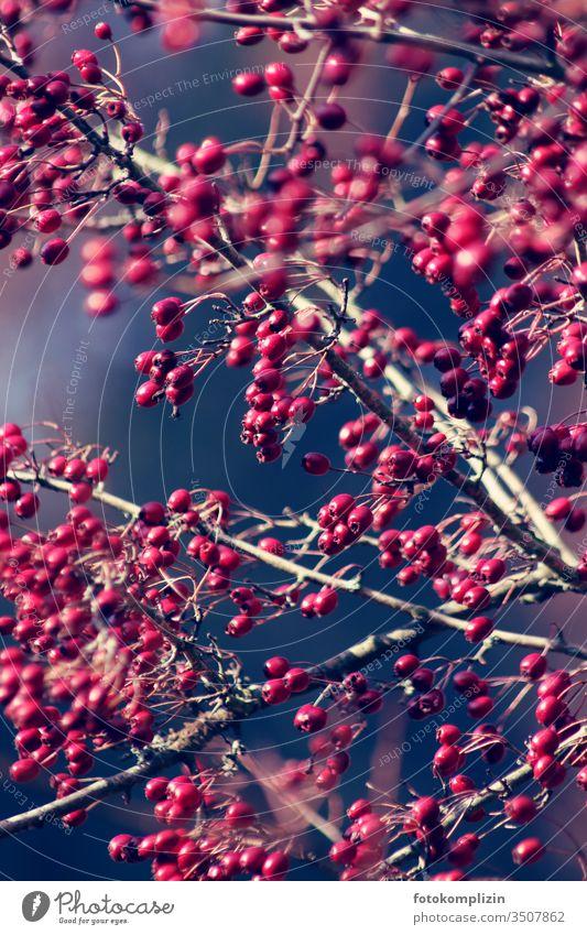 rote heckenbeeren Herbst Beerenfruchtstand Beerensträucher Fruchtstand beerenzweig herbstlich Herbstlicht Sträucher Schwache Tiefenschärfe Außenaufnahme