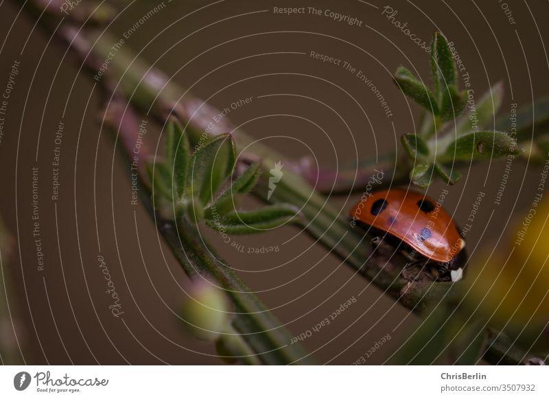 Makroaufnahme von einem Marienkäfer Pflanze Frühling Natur rot Käfer grün Nahaufnahme Insekt krabbeln klein Glück Schwache Tiefenschärfe Glücksbringer Farbfoto