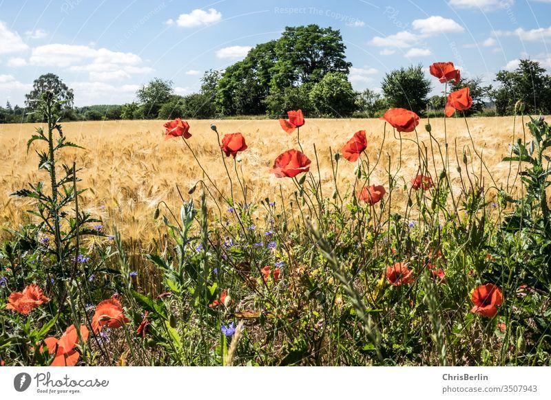 Getreidefeld mit Mohnblumen im Sommer Landschaft blauer Himmel Landwirtschaft Feld Natur Außenaufnahme Wolken Menschenleer Farbfoto Umwelt Wachstum